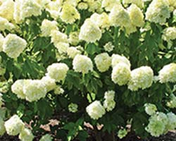 Limelight Panicle Hydrangea