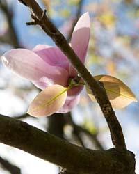 Magnolia March
