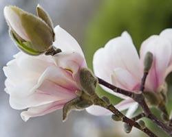 Magnolias Chicago Botanic Garden
