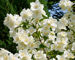 Mock Orange Pruning