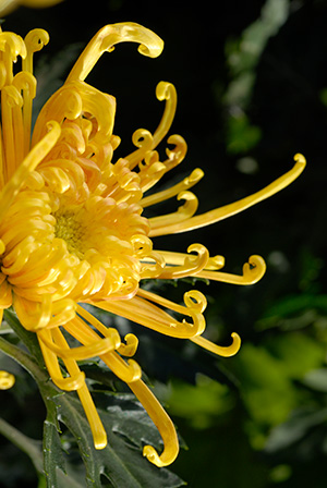 Yellow Spider Mum
