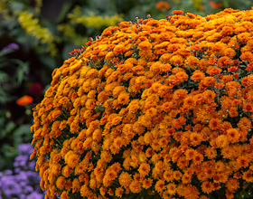 Mums at the Garden