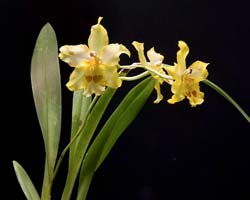 Odontonia Yellow Parade 'Alpine'