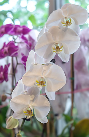 Orchid Show Members Preview Chicago Botanic Garden