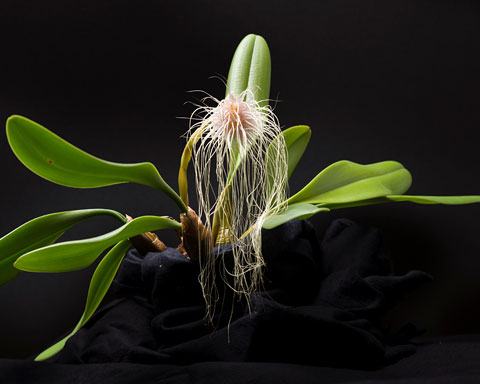 PHOTO: Bulbophyllum medusae 'Miami'