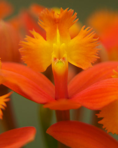PHOTO: Epidendrum hybrid