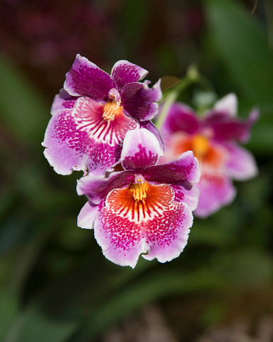 PHOTO: Miltoniopsis