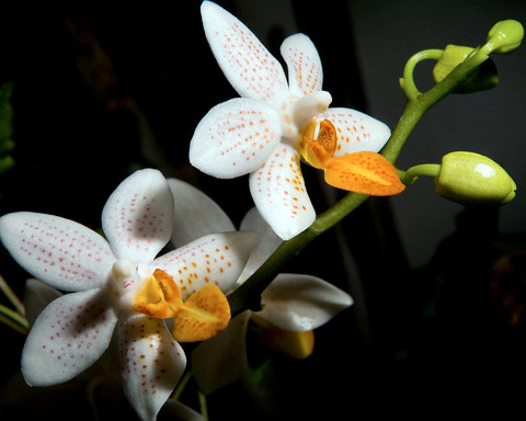PHOTO: Phalaenopsis Mini Mark 'Holm'