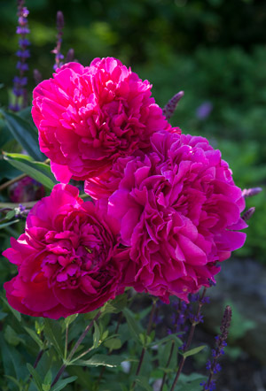 Peony in the Landscape Garden