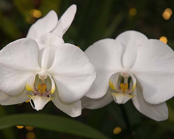 PHOTO: Phalaenopsis.