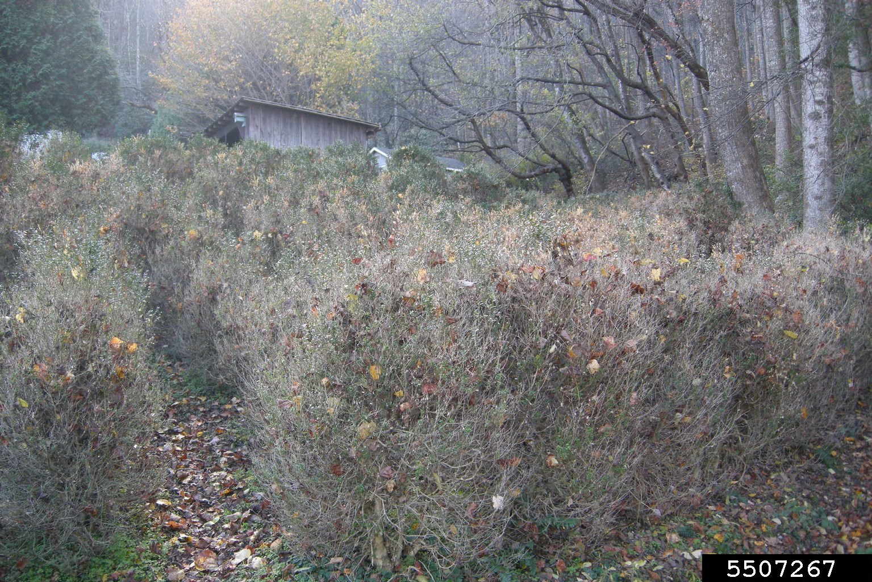 Boxwood blight (Calonectria pseudonaviculata)