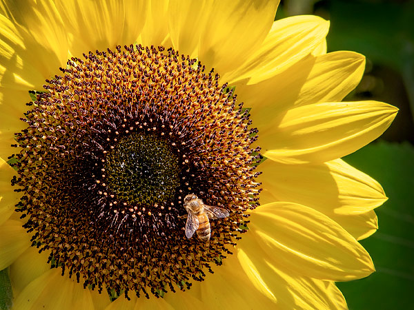 Pollinator Friendly Annuals
