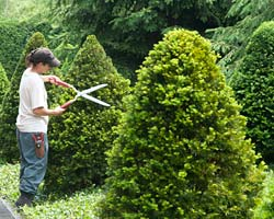 http://www.chicagobotanic.org/sites/default/files/images/pruning-july.jpg