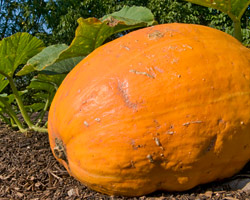 Pumpkin growing at the Garden
