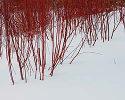 red twig dogwood February
