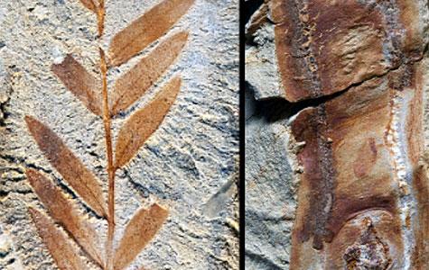60-million-year-old legume fossils