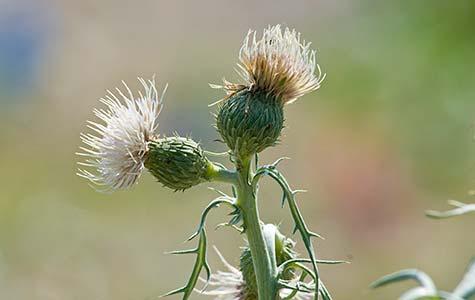 Cirsium pitcheri