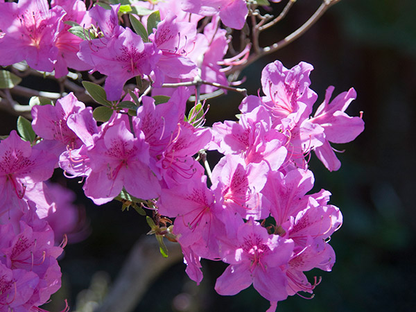 PHOTO: Rhododendron Show