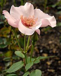 Rose - July