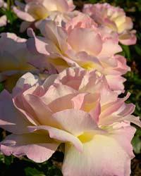 Roses September