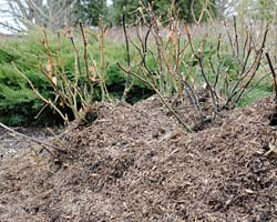 Rose mulch November