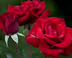 Winter Rose Preparation