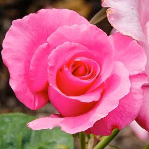 Rosa 'MEIzeli'