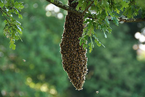 Bee Swarms and Swarm Traps