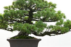 Bonsai Pine Workshop