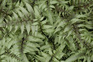 Ferns for the Chicago Region