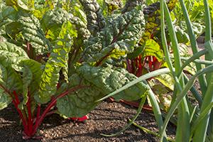Chronicle of a Vegetable Garden