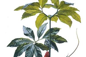 Botanical Drawing 1