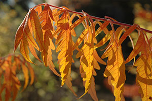 The Best Trees and Shrubs for Fall Color