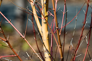 Winter Tree and Shrub Identification