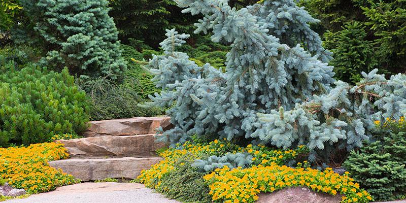 Dwarf Conifer in summer