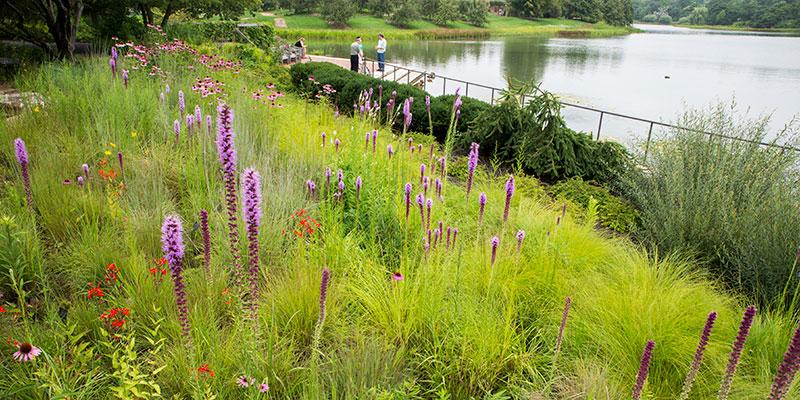 Native Plant Garden in summer