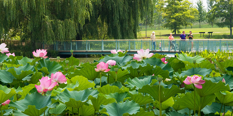 Water Gardens in summer