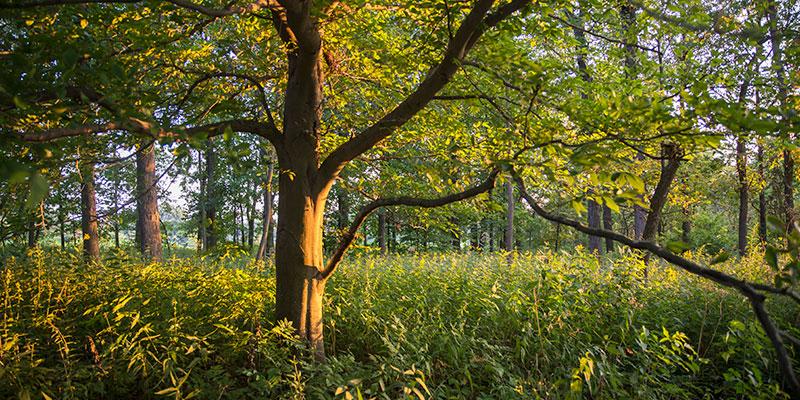 McDonald Woods in summer