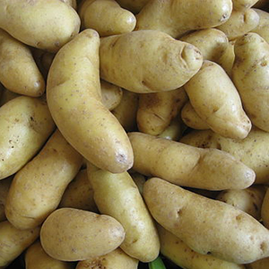 'Russian Banana' fingerling potato