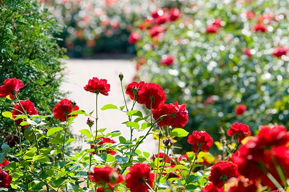Krasberg Rose Garden