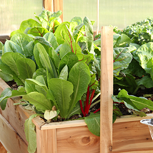 Swiss chard and leaf lettuce