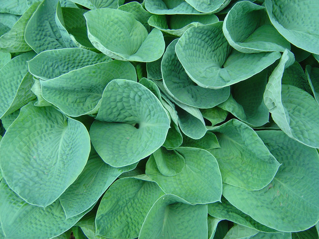 Crowded hostas with overlapping leaves could be separated for more plants.