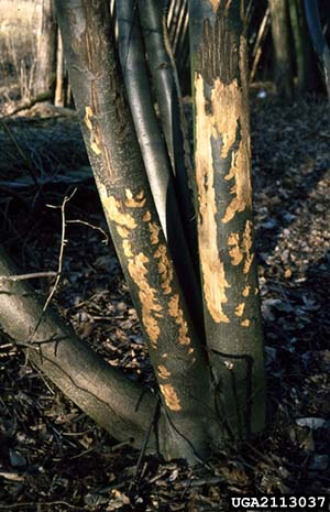 Deer damage to a Linden tree