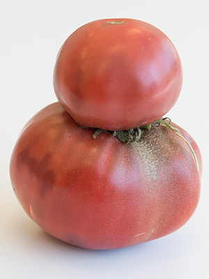 Fasciated tomato fruits