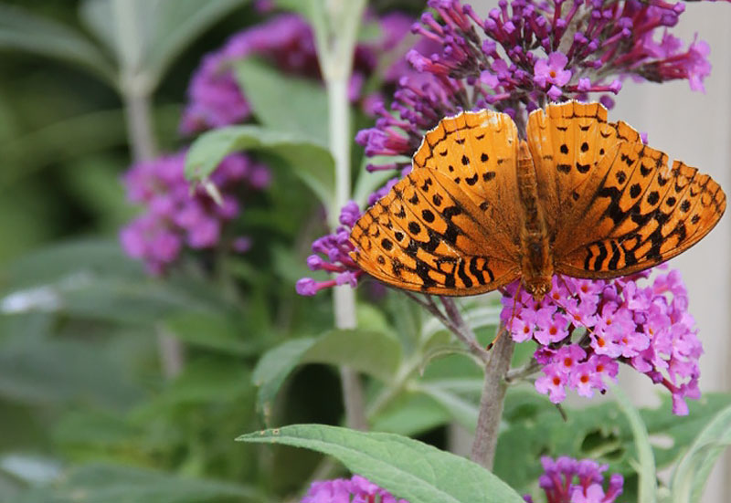 Great Spangled Fritillary on Butterfly Bush