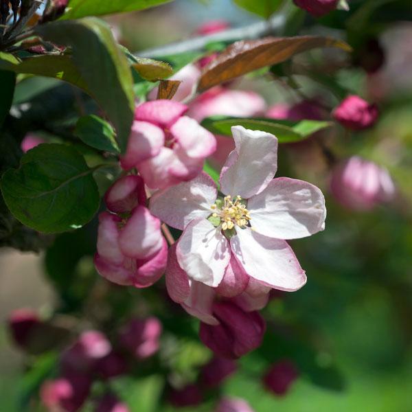 Spring Flowering Ornamental Trees Chicago Botanic Garden
