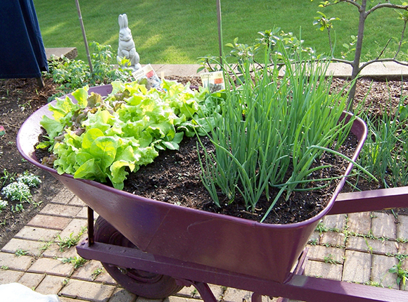 Wheelbarrow planted with lettuces and green onions