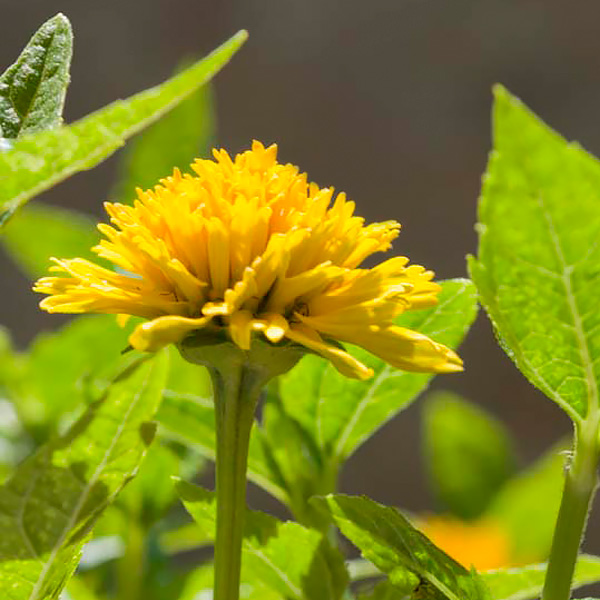 Heliopsis helianthoides var. scabra 'Asahi'