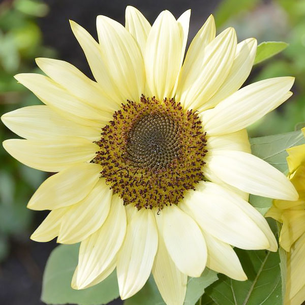 Helianthus annuus 'Buttercream'