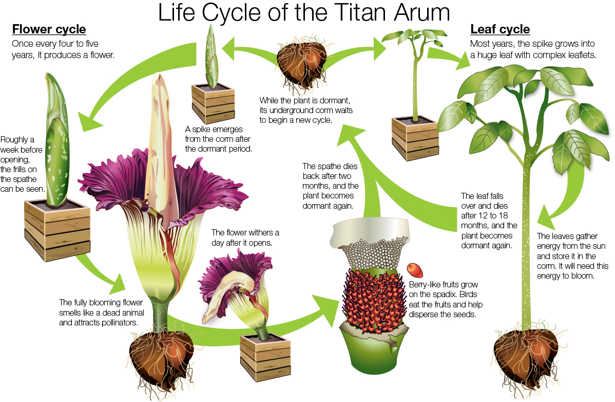 Titan Arumfaq Chicago Botanic Garden Seed Germination Diagram For Kids Illustration The Life Cycle Of Arum